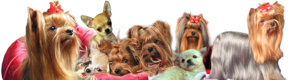 york terry dog